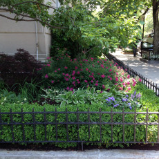 A dwarf Japanese maple, Spiraea japonica 'Neon Flash', and Hosta 'Patriot' brighten the corner of 96th Street and Fifth Avenue
