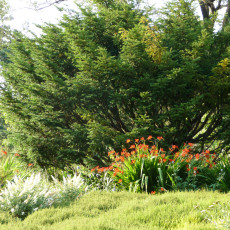 Choosing companion plants--Crocosmia 'Lucifer' and Buddleia 'White Ball'-- for the heaths and heathers and historic old yews