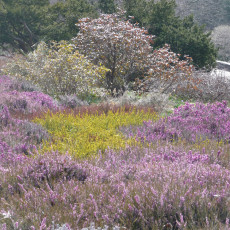 The heather bed in late winter glory!