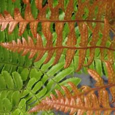 Dryopteris erythrosora (Autumn fern)